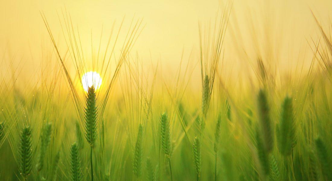 barley field in the sun